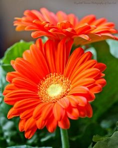 orange daisies are said to energize...check out more flower powers on the blog www.blog.syndicatesales.com