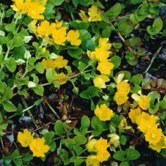Suikeroalpi. Korkeus: 5 cm. Kukkii heinä–elokuussa. Kasvupaikka aurinko–varjo, kuiva–kostea, keskiravinteinen maa.