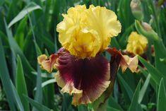 "Bi-color, tall bearded iris 'Mastery' (ht. 36"")"