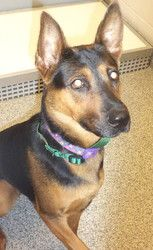 09-101 (09/24/13) is an adoptable Shepherd Dog in Akron, OH. Adopting a friend~ Dogs (and puppies) are $ 90.00 : $ 76.00 for the adoption / $ 14.00 for the licenses Cats (and Kittens) are $60.00 : $60...