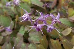 Epimedium grandifl. 'Lilafee'