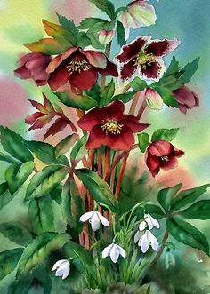 Red Hellebores and Snowdrops by Ann Mortimer evergreen perennial blooms early spring!