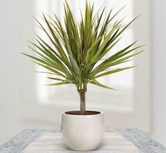 Dragon Tree -  It's your personal piece of the tropics in your office. It doesn't like direct sunlight, so keep the plant away from it. houseplants that can survive even the darkest corner