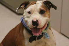 NAME: Jordie  ANIMAL ID: 29725489  BREED: Pit/Sharpei  SEX: male  EST. AGE: 3 yr  Est Weight: 53 lbs  Health: heartworm pos  Temperament: dog friendly, people friendly  ADDITIONAL INFO: RESCUE PULL FEE: $49  Intake date: 9/23  Available: 9/29