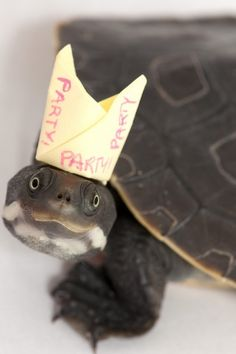 Turtle in party hat!