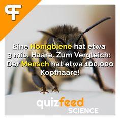 Eine Honigbiene hat etwa 3 Mio. Haare. Zum Vergleich: Der Mensch hat etwa 100.000 Kopfhaare. Die hohe Anzahl der Haare hat eine größere Körperoberfläche zur Folge. Das ist einerseits gut für die Aufnahme der Pollen, andererseits bietet es jedoch eine größere Fläche für Schmutz und Staub.