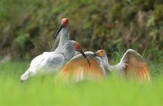 水田のあぜで三歳の雌(左)の親鳥から、翼を広げてエサをねだる幼鳥(雄雌かは不明)と奥は4歳の雄 =8日午前、新潟県佐渡市 (大山文兄撮影)