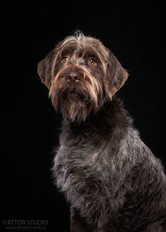 Wirehaired Pointing Griffon (Korthals)