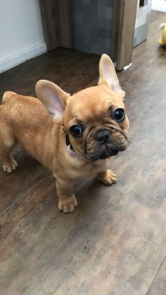 Maple #frenchie #bulldog
