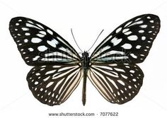 stock photo : Nice tropical isolated blue spotted butterfly