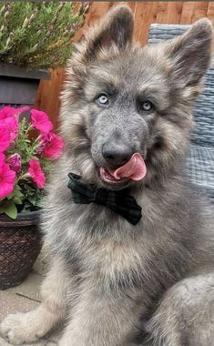 Cute Puppies, Cute Dogs, Dogs And Puppies, Doggies, Cute Baby Animals, Animals And Pets, Funny Animals, Funny Animal Pictures, Dog Pictures