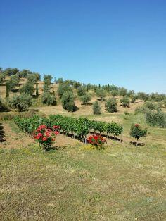 17 de mayo de 2014. Las viñas están brotadas. Extremadura.  España.