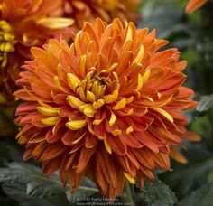 Chrysanthemum 'Indian Summer' by Patty Hankins Beautiful Butterflies, Love Flowers, Beautiful Flowers, Beautiful Pictures, Organic Gardening, Gardening Tips, Crysanthemum, Indian Summer, Flower Images