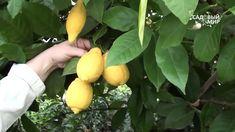 Комнатный лимон и другие цитрусовые из знаменитого г  Павлово Fruit, Garden, Youtube, Garten, Lawn And Garden, Gardens, Gardening, Outdoor, Youtubers