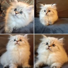 #persian #kitten #creme #cfa kitten #cute  This is Nala She is a creme with caramel points and blue eyes. She is one of my beautiful babies! Persiankittenpals.com