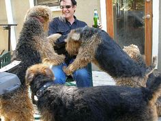 #Airedale #Terrier...never can have too many airedales!