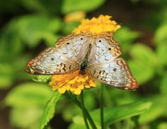 """Golden Perch""- White Peacock (Anartia jatrophae) Copyright © Sukey McDonough. All rights reserved. Google+"
