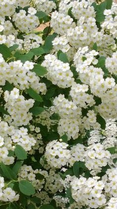 ~Bridal Veil Spirea .....so beautiful