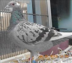 Walter is an adoptable Pigeon Dove in Golden, CO on @Petfinder.com Primary Color: Grey Secondary Color: White Age: 0yrs 0mths 0wks...