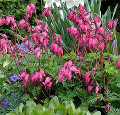 Dicentra 'Amore Rose' PPAF. Bleeding Hearts aren't just for spring! Enjoy their flowers right into summer with this long blooming variety!
