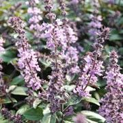 Ocimum basilicum 'Magic Mountain' (Sweet basil 'Magic Mountain') Click image to learn more, add to your lists and get care advice reminders each month. Plants, Basil Plant, Herbs, Prune