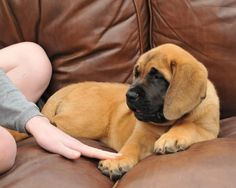 ENGLISH MASTIFF besides a bullie.... This will b our next baby!!