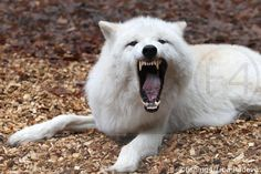 Tanja Askani Le Cri, Husky, Dogs, Animals, Animaux, Doggies, Animales, Animal, Pet Dogs