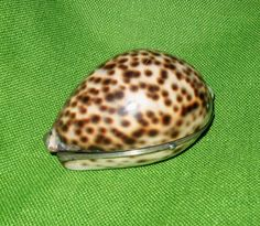 CoUpOn SaLe!  Large Antique Victorian Silver Mounted Tiger Cowrie Shell Hinged Box-Snuff Box-Trinket Box by BUTTERFLYWINGVINTAGE on Etsy