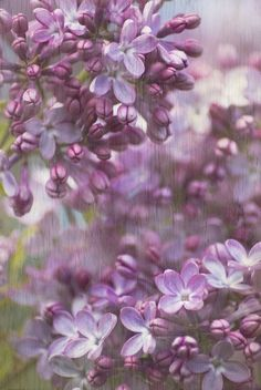 Lavender and Lilac. mmmmm, the smell of lilac. Purple Love, All Things Purple, Shades Of Purple, Periwinkle, Purple Style, Tom Felton Tumblr, Christian Morgenstern, Deco Floral, Lily Of The Valley
