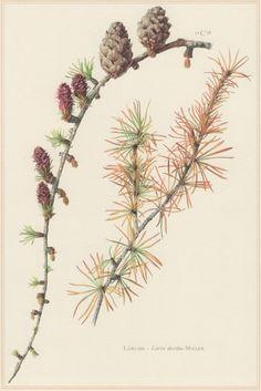 1960 Vintage Botanical Print Larix decidua European by Craftissimo