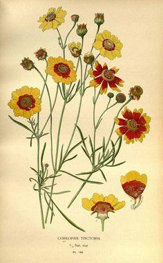 119832 Coreopsis tinctoria Nutt. / Step, E., Bois, D., Favourite flowers of garden and greenhouse, vol. 2: t. 140  (1896-1897) [D.G.J.M. Bois]