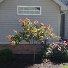 ResizedImage275275-Tree-Hydrangea.JPG 275×275 pixels