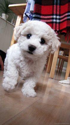 Cachorro tierno - blanco mirando a la cámara