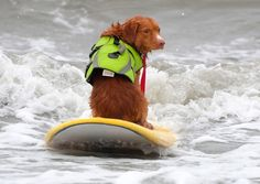Surf dog weekend, Huntington Beach, CA