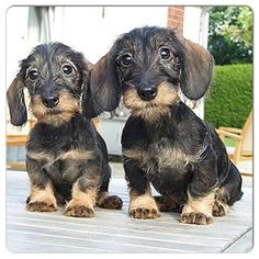 Wire haired doxies! Such sweet faces!