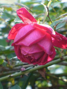 1000 images about the rose on pinterest david austin. Black Bedroom Furniture Sets. Home Design Ideas