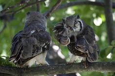 Verreaux's Eagle-owl (Bubo lacteus) - Botswana, Southern Africa