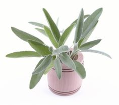 Growing sage plant on your windowsill or under fluorescent lights is easy. Discover how to grow sage herb indoors, choose varieties, tips for harvesting, drying.