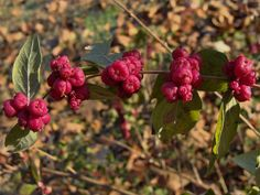 Know Your Natives ~~ Coralberry~~ Arkansas Native Plant Society. Wild Flowers, Xeriscape, Plants, Garden, Bee Garden, Plant List, Wild Plants, Xeriscape Plants, Flowers