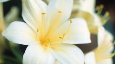 How to grow clivia seeds