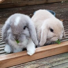Named Easter and Christmas Baby Animals Super Cute, Cute Baby Bunnies, Funny Bunnies, Cute Little Animals, Cute Funny Animals, Cute Bunny Pictures, Baby Animals Pictures, Pet Bunny Rabbits, Lop Bunnies