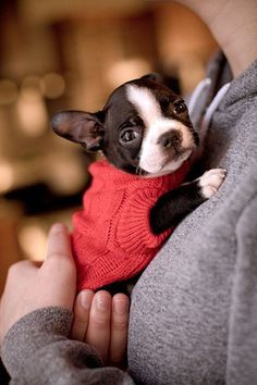 Adorable Boston Terrier puppy in a red sweater. <3 For more puppy pics visit www.prettyfluffy.com