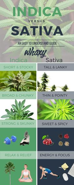 differences between indica sativa infographic