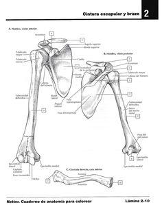 Para colorear sistema esquelético |Miranda Fisioterapia blog Anatomy, Carrera, Memes, Blog, Nursery Activities, Physical Therapy, Med School, Skeletal System, How To Study