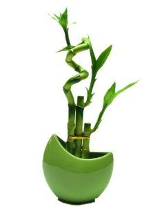 1 Set ( 3 Stalks) Lucky Bamboo Arrangement in a Green Vase for Fengshui or Gifts, $21.99 You Save:$7.00 (24%) #luckybamboo