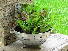 Growing Lettuce In A Colander (Or How To Grow And Wash Your Veggies All In The Same Container)#/1266042/growing-lettuce-in-a-colander-or-how-to-grow-and-wash-your-veggies-all-in-the-same?&_suid=136654426668404461818316770113