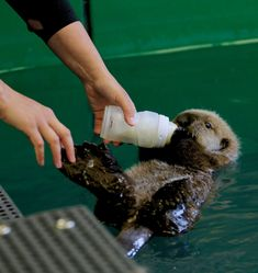 This is a unique opportunity to assist our Animal Care Team in caring for a sea otter pup! This tour is available for a limited. Alaska Sealife Center, Animal Original, Baby Sea Otters, Otter Pup, Otter Love, Marine Biology, Cute Little Animals, My Animal, Animal Care