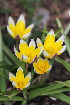 Tulipa Tarda, Enerhagen