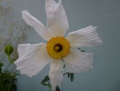Romneya Coulteri - Californian Tree Poppy.