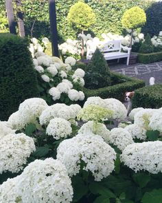 Hydrangea Annabelle season is starting soon 💚🌿👉🏻Head over to my stories and my previous post to see a lot more inspiration from my Hydrangea garden from last year 🙋🏼 #hydrangeas #whiteflowers